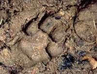 Spur eines Wolfs